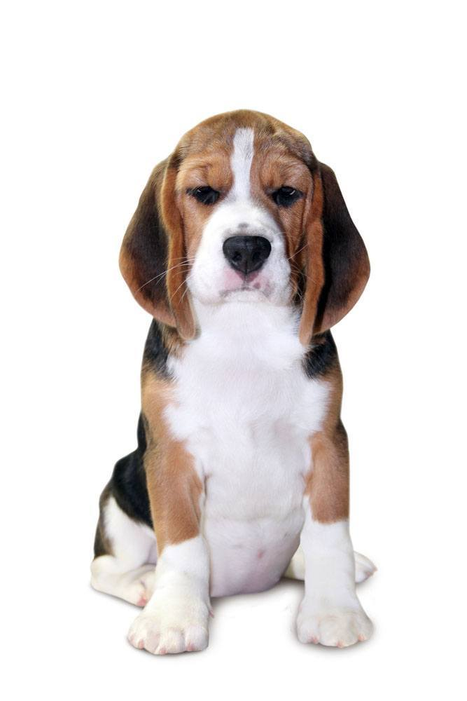 Beagle wondering what your doing