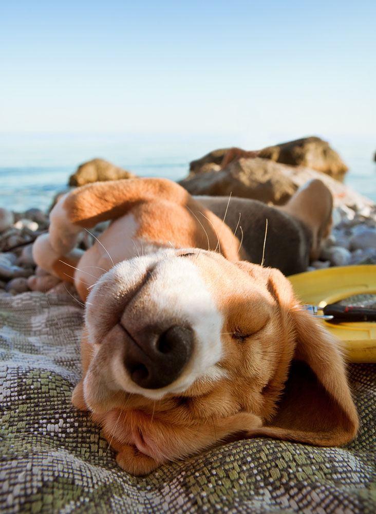 Beagle snoozing at beach