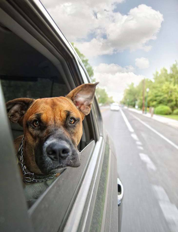 Boxer on a road trip