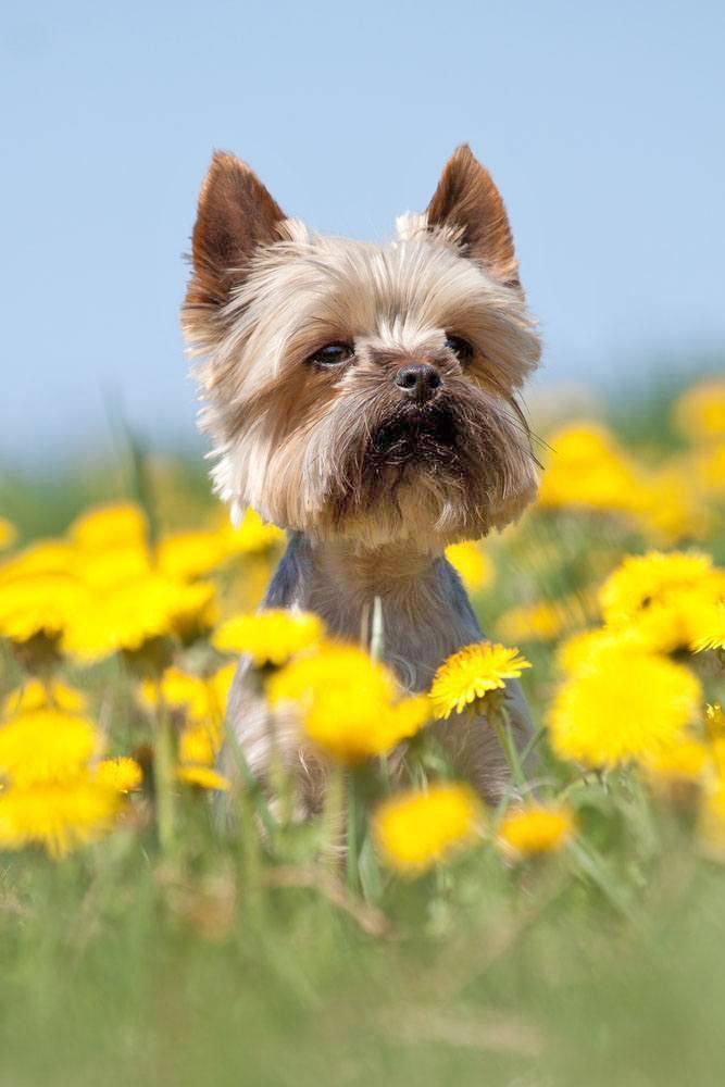 Yorkie cutie loving the springtime