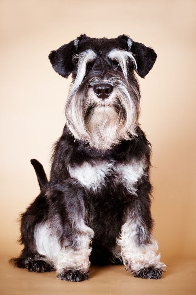 Schnauzer standing at attention