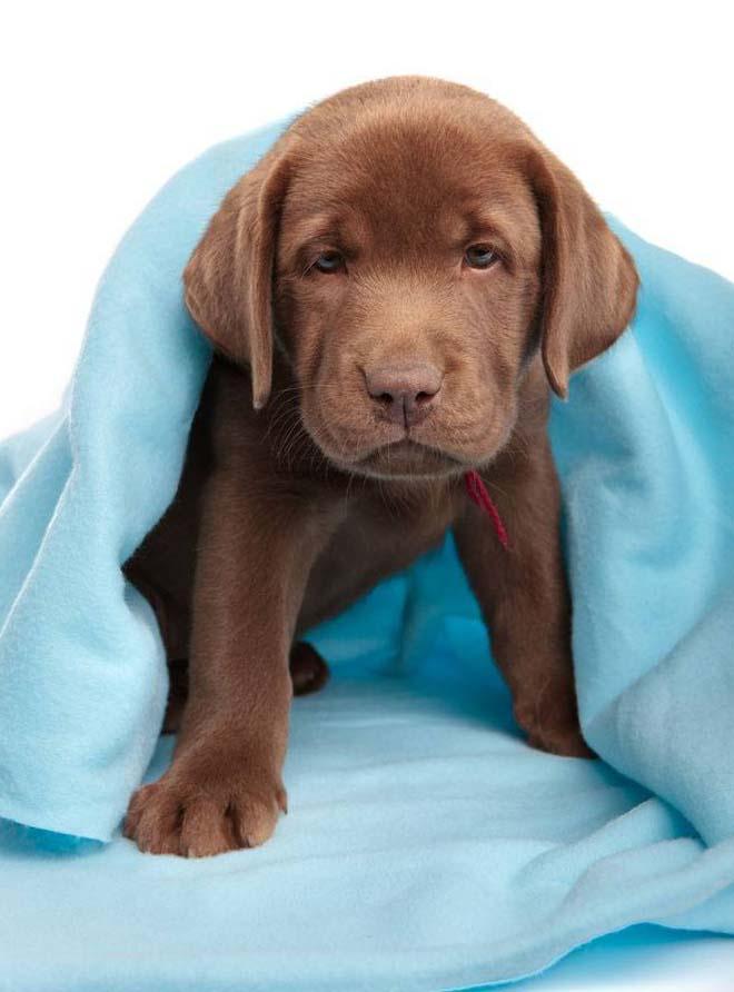 cute Labrador Retriever puppy