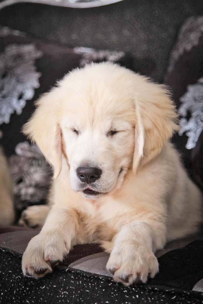 Golden Retriever puppy snoozing