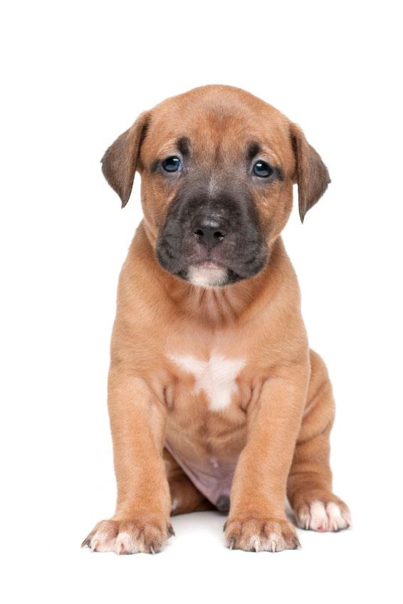 Pit Bull puppy cuteness