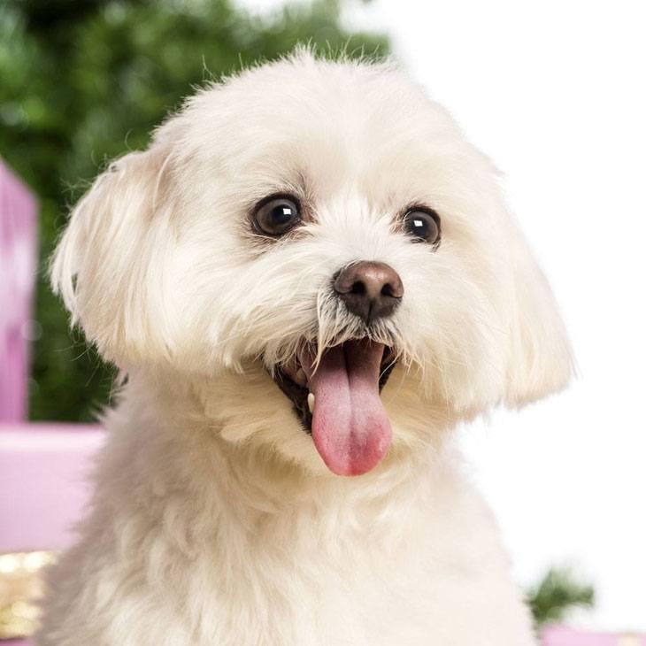 Pure white Maltese cutie