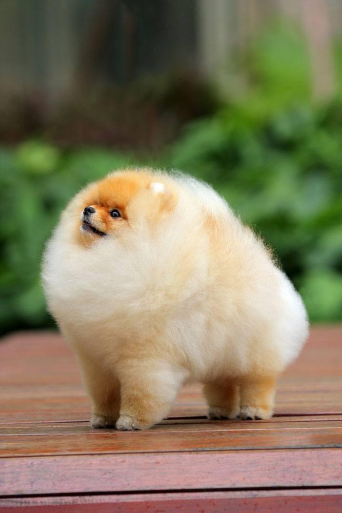Pomeranian poofball