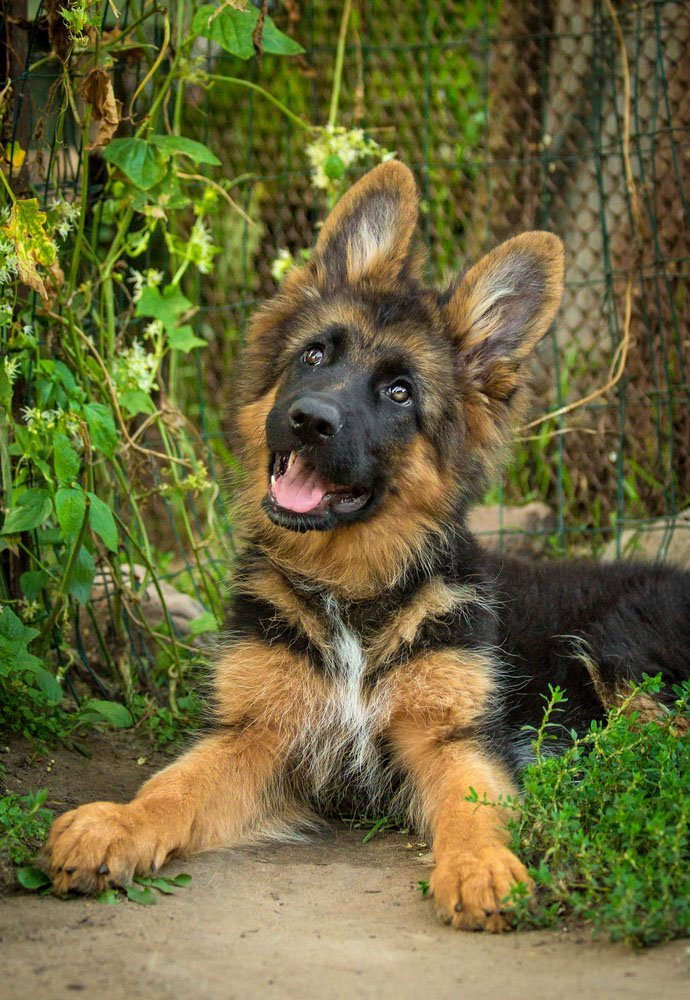 German Shepherd puppy ready to play