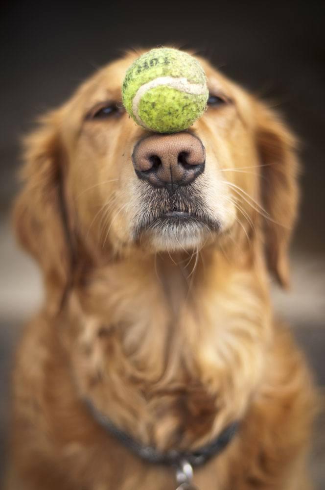 Golden Retriever balancing his beloved tennis ball