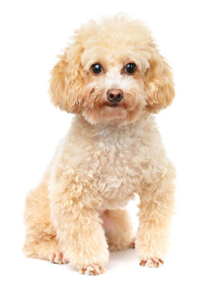 Poodle puppy cutie