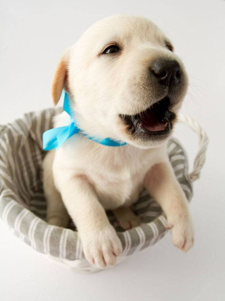 Labrador Retriever puppy cutie
