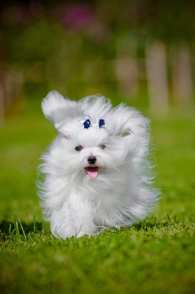 White Maltese puppy running home