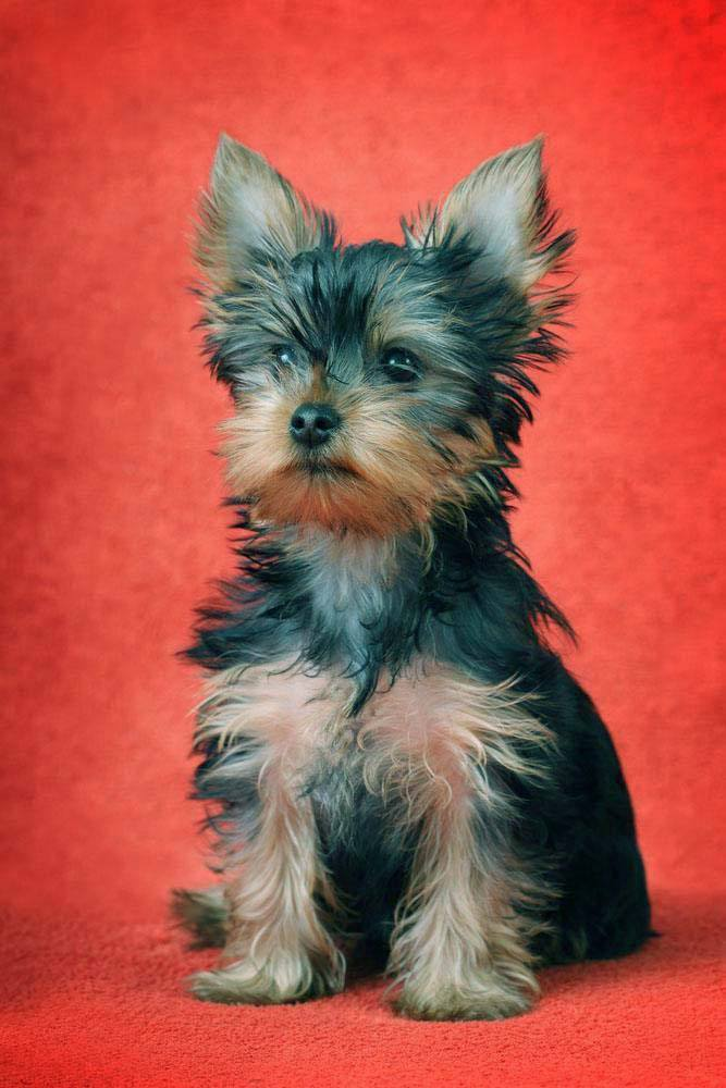 Yorkie puppy waiting for a treat