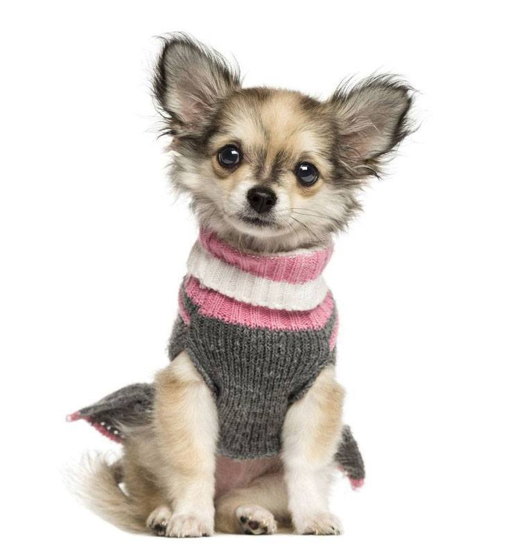 Dapper Chihuahua puppy