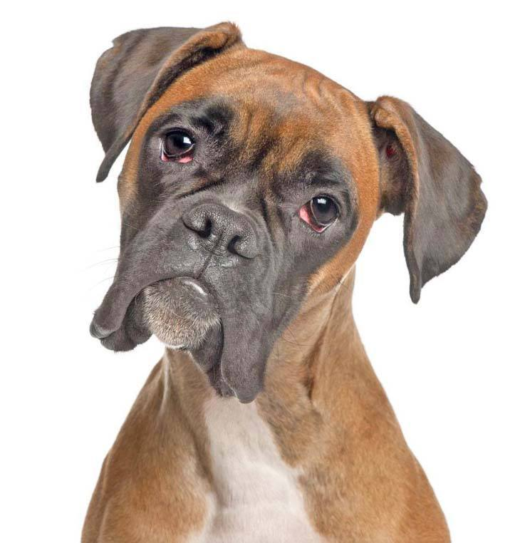 Curious Boxer looking perplexed