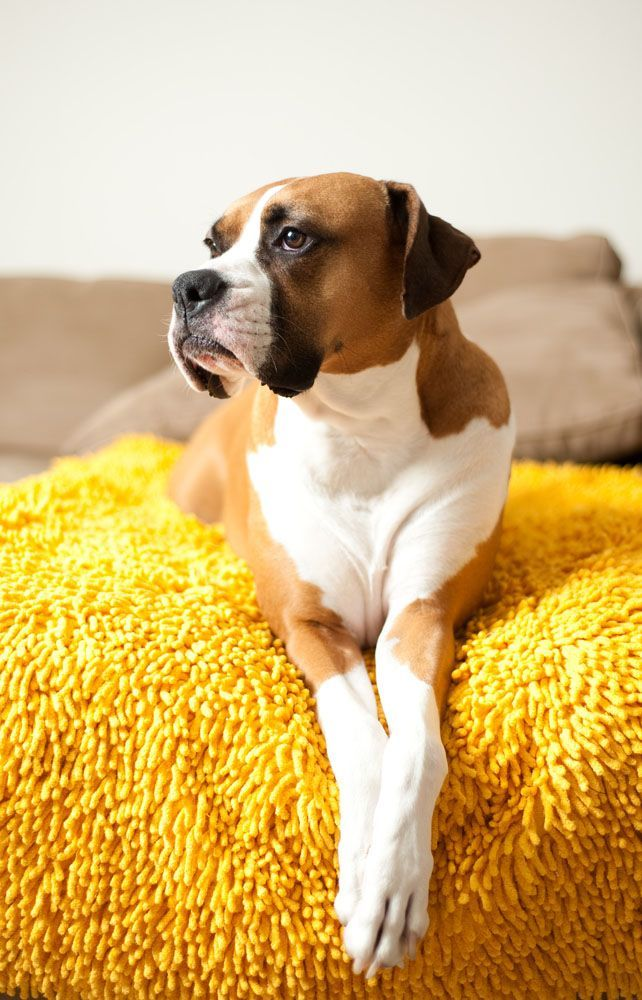 Boxer dog taking a rest