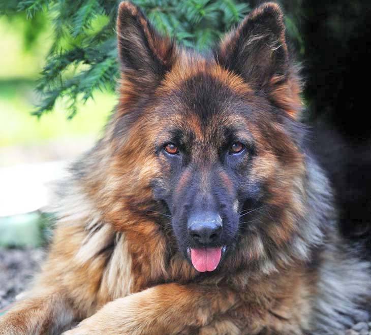 German Shepherd watching you watching her