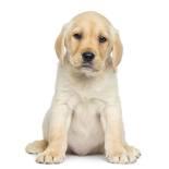 Labrador Retriever puppy waiting for dinner