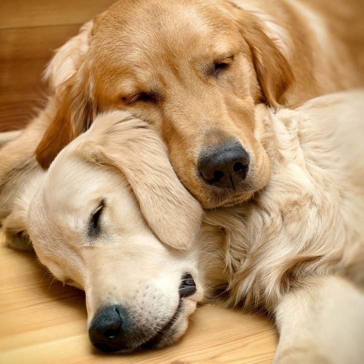 Golden Retrievers napping