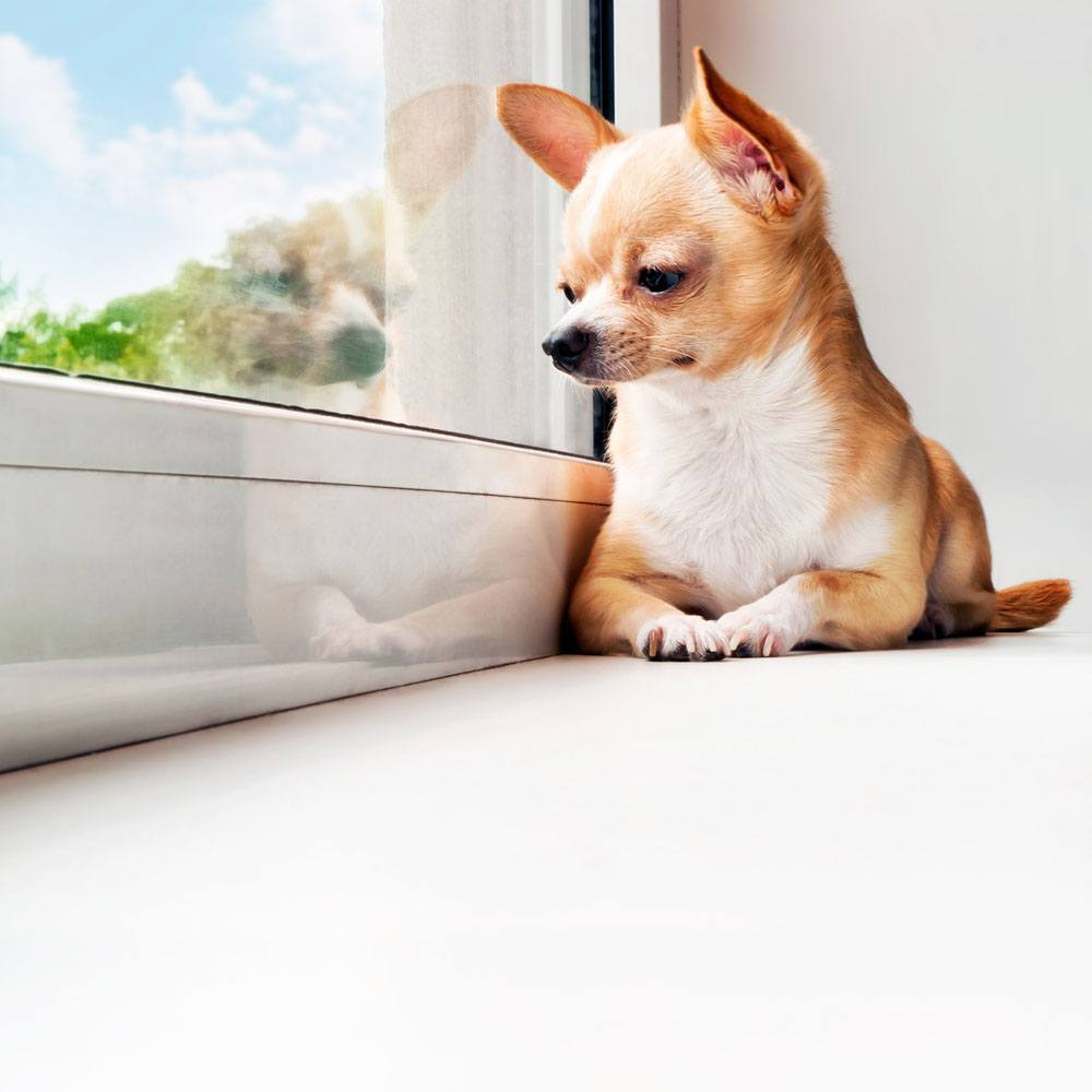 Chihuahua waiting for you to come home