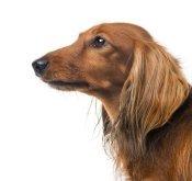 Beautiful long haired Dachshund puppy