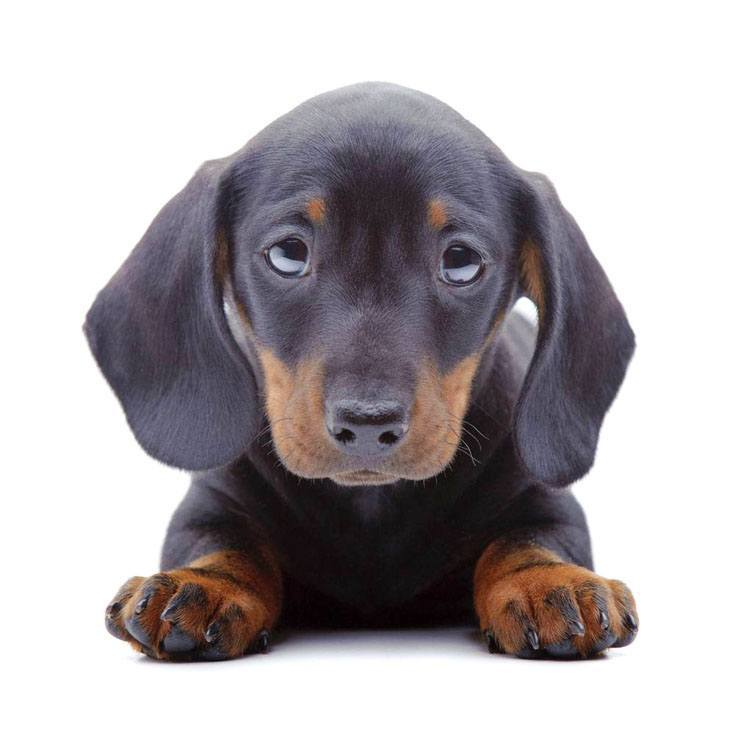 Dachshund puppy with big beautiful eyes