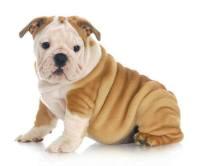Wrinkly Bulldog puppy