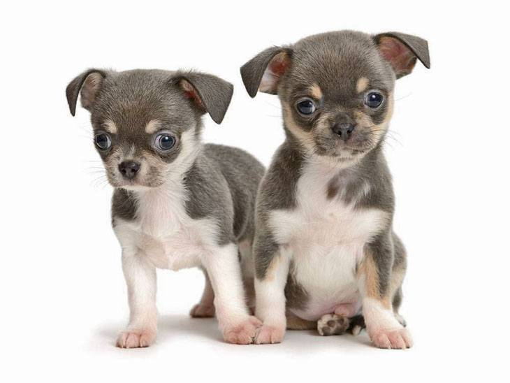 Chihuahua puppies being cute