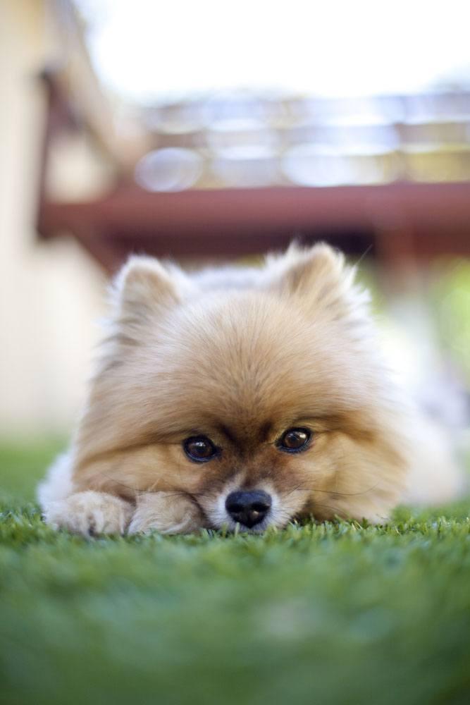 Pomeranian stare down