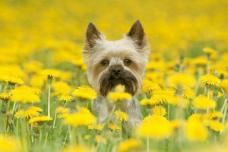 Yorkie having a great time in the flowers