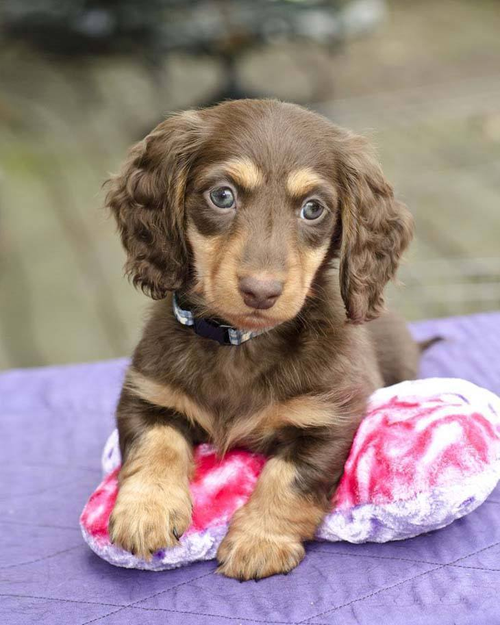 Cocker Spaniel puppy looking cute
