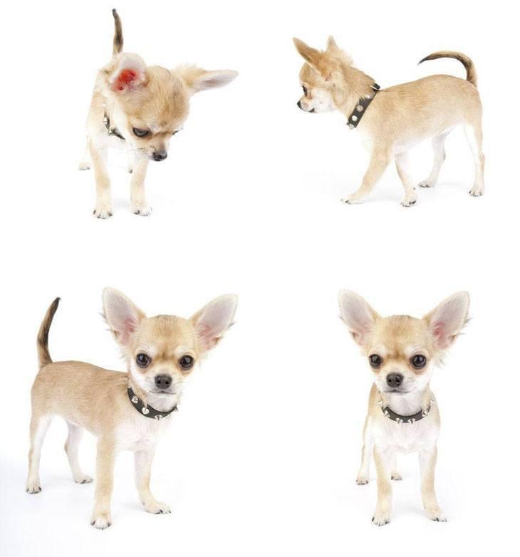 Chihuahua being cute