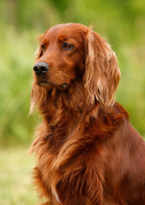 Irish Setter ready to run