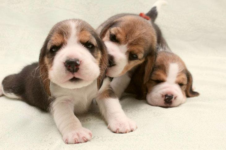 Beagle puppies having fun