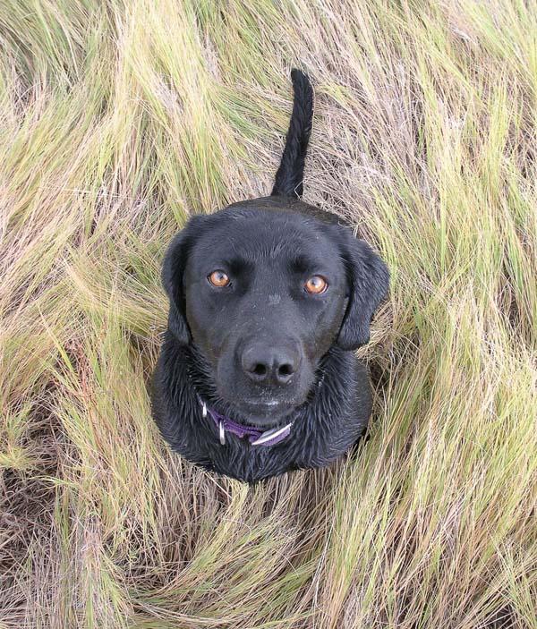 Black Lab hunting dog wanting a great black dog name
