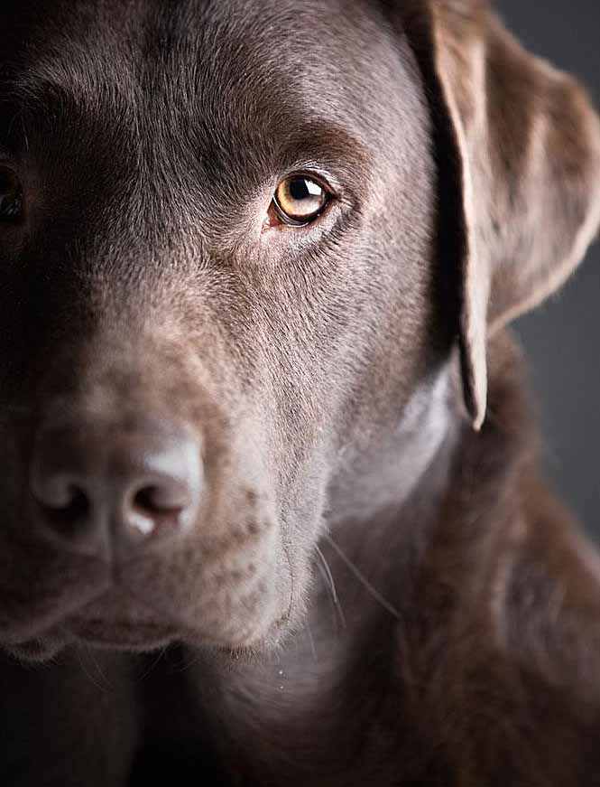 Chocolate Lab waiting to go for a walk