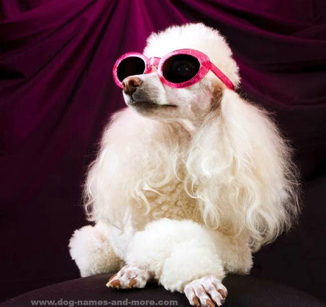 Poodle Diva Princess