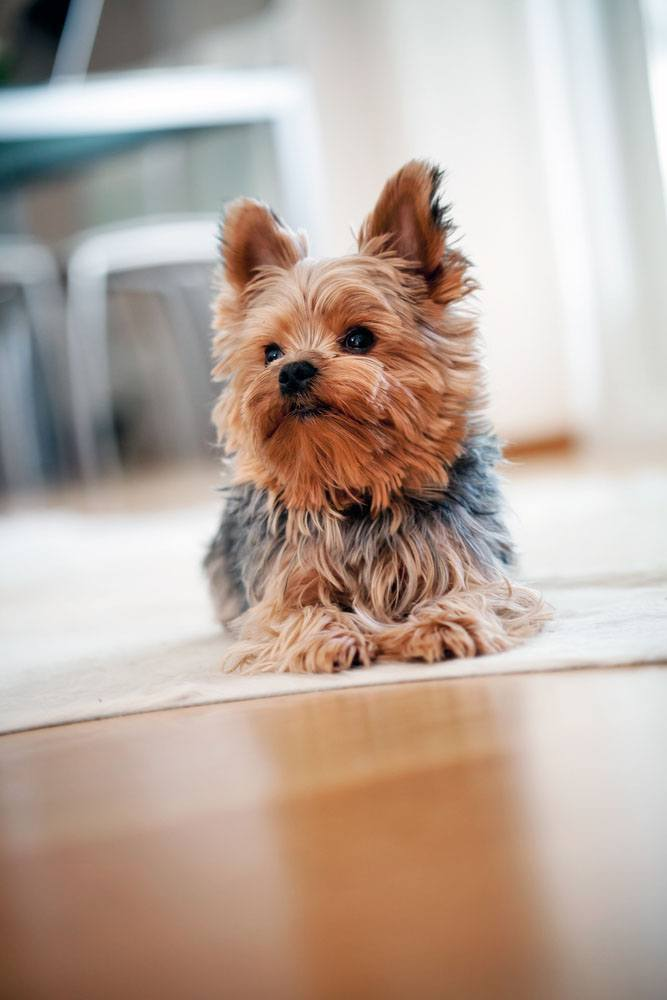 Yorkie puppy waiting for walk time
