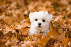 Cute Maltese puppy enjoying the fall leaves