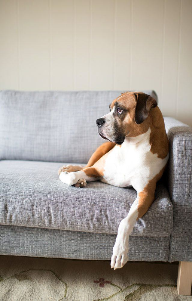 Boxer lounging around