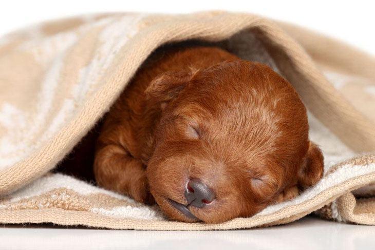 Sleeping Poodle cutie