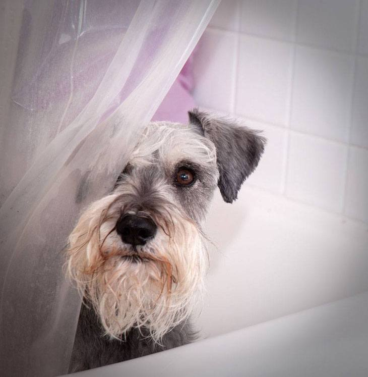 This Schnauzer wants it's privacy