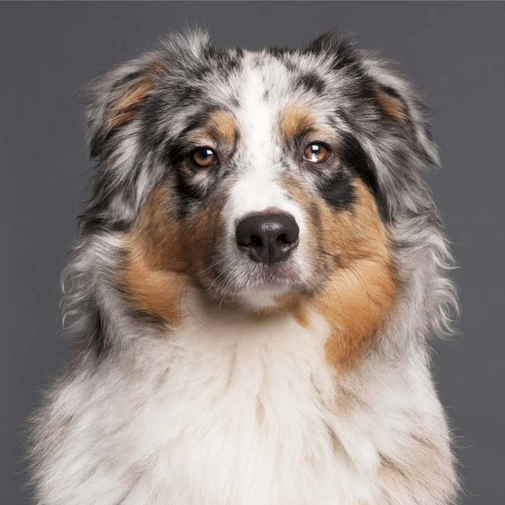 Australian Shepherd watching you