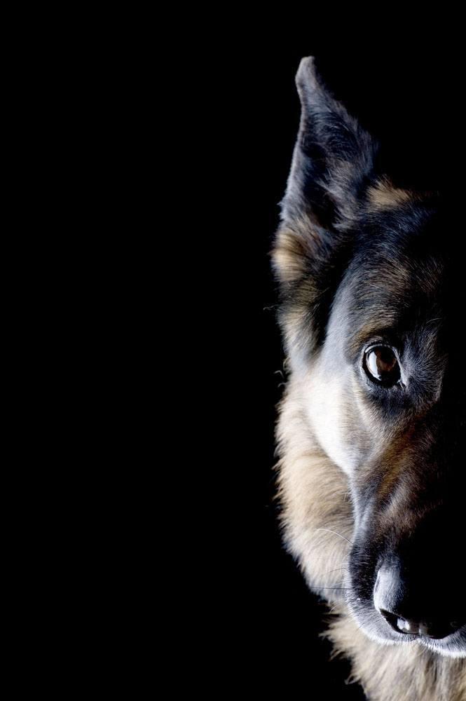 German Shepherd in shadows