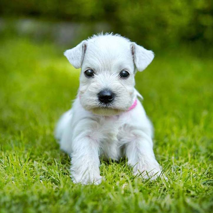 Schnauzer puppy can't wait for her small female dog names
