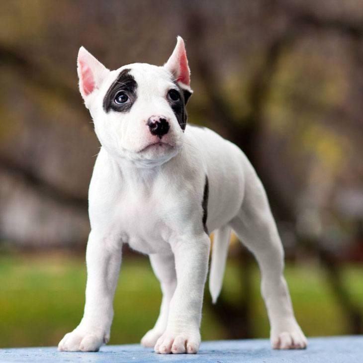 Shy Pit Bull puppy