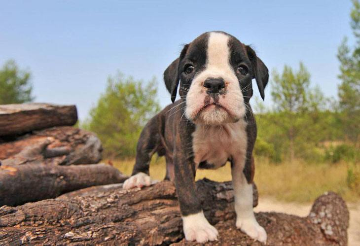 Boxer puppy cutie is lonely