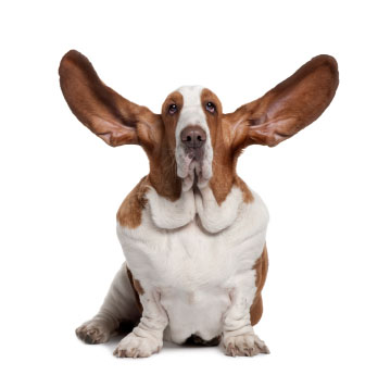 Hound dog with large ears
