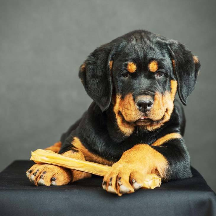 Rottweiler puppy protecting his bone