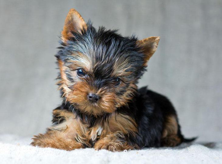 Yorkie puppy looking for playmate
