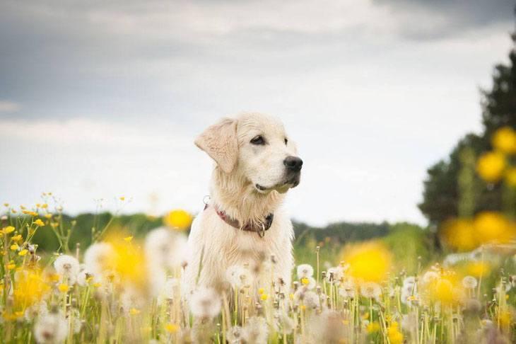 Labrador Retriever in a meadow